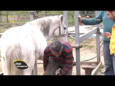 Zirai Hayvancılık-Atlara  Nal Çakarken Nelere Dikkat Etmeliyiz?