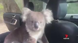 Koala jumps in Australian News Casters car!