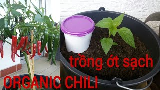 how to grow chili in pot with organic waste, grow chili in pot, how to prepare soil for plants