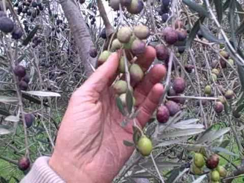 How to Cure Raw Olives the Easy Way using only 2 Ingredients