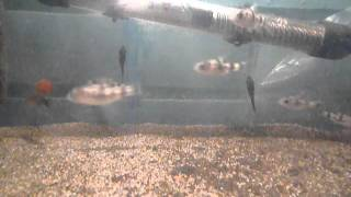 видео Оливковый клоун, Barbus filamentosa.