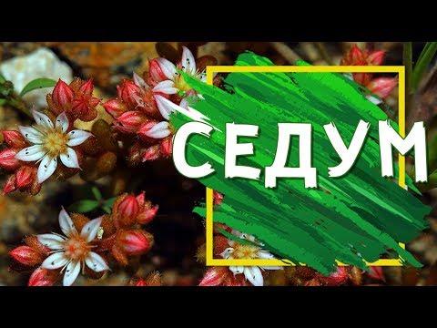 Седум ��️ Растение для засушливых мест ��️ Посадка и Уход