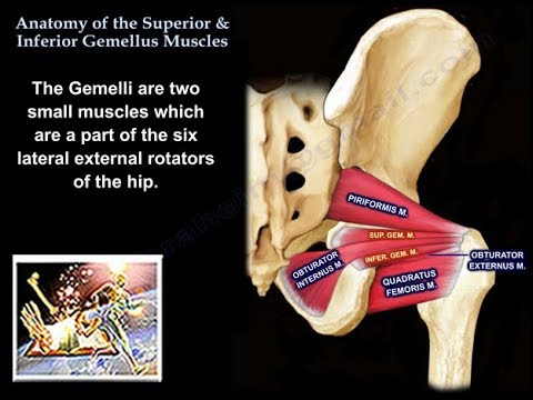 Anatomy Superior & Inferior Gemellus Muscles - Everything You Need To Know - Dr. Nabil Ebraheim