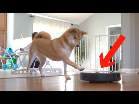 putting dog treats on top of my robot vacuum..