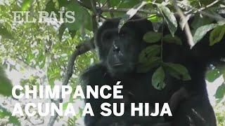 Un chimpancé macho alfa cuida de una cría