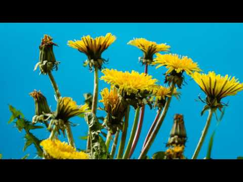 Rotating timelapse of common dandelion (Taraxacum officinale) flowers opening, bluescreen, UK
