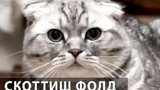 Порода кошек Скоттиш фолд. Шотландская вислоухая кошка