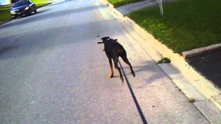 Hawaiian Dog Sled With Doberman Pinscher