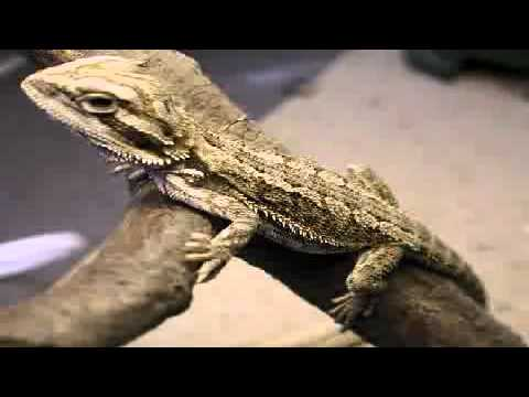 Bearded Dragon Names | Get The Best Bearded Dragon Names For Your Beardie