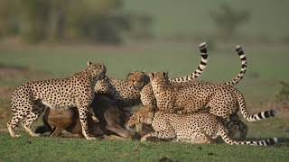 """""""Fast Five"""" Cheetah Coalition take down a Wildebeest"""