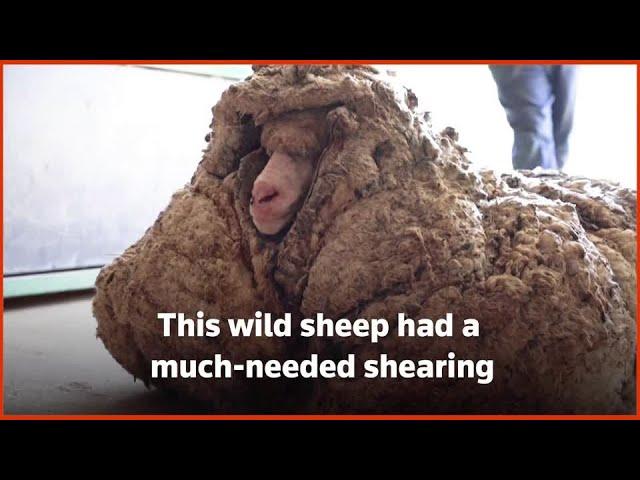 Wild sheep rescued in Australia shorn of 35 kg fleece