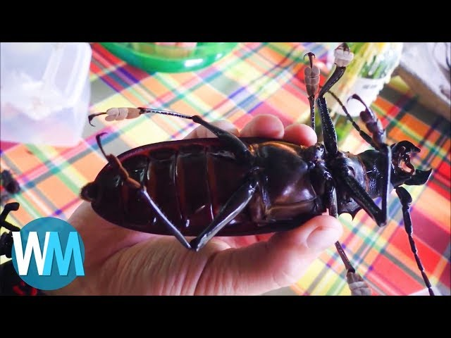 Top 10 Massive Insects That Are Actually Real