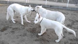 ホワイトスイスシェパード☆レオン☆と☆リサ☆が 2匹で紐付きボールの引っ...