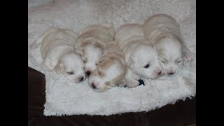 Coton Puppies For Sale - Foxy 7/14/20