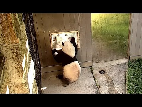 Bei Bei chat with his daddy Tian Tian   6-26-2018  🐼🐼❤️❤️