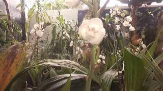 EXPOSICIÓN DE ORQUIDEAS 2013 FLOR DEL ESPIRITU SANTO
