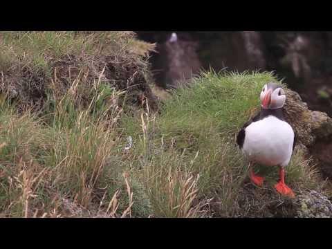 Puffins Látrabjarg Bird Cliffs Puffins