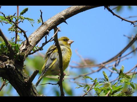 Лесные птицы на природе, красивое пение кенара. Сanary bautifule singing