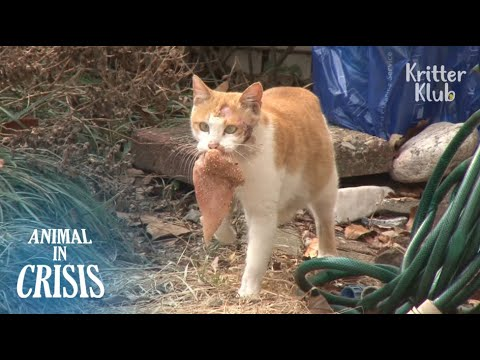 Injured Cat Never Gives Up Feeding Her Kittens Despite Dizziness | Animal in Crisis EP91
