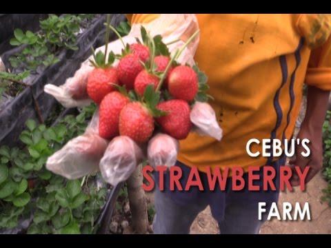 Cebu's Strawberry Farm