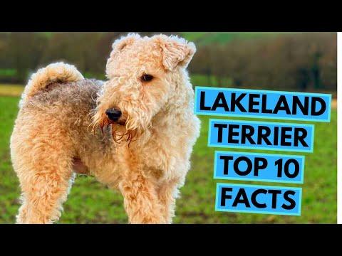 Lakeland Terrier  TOP 10 Interesting Facts