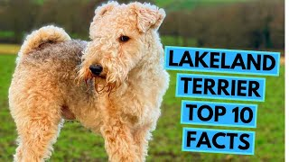 Lakeland Terrier  TOP 10 Interesting Facts