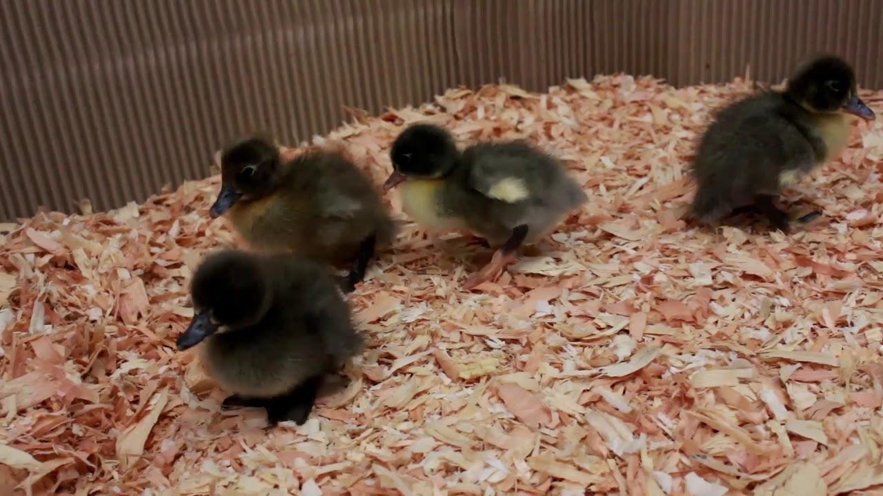 Blue Swedish Ducklings
