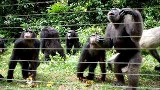 Nigerian Chimpanzee Centre @ Afi Mountain Drill Ranch