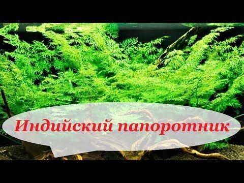 Индийский папоротник в аквариуме, содержание, фото, уход. Аквариумные растения для начинающих.