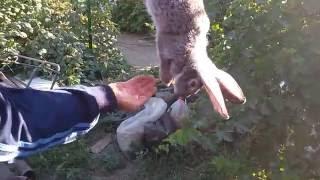 Обучающее видео: Забой кроликов в домашних условиях(, 2016-08-06T14:53:19.000Z)