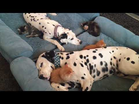 Silly kittens play with sleepy Dalmatians.