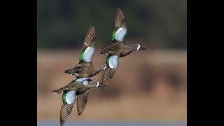 Wood Duck And Teal Identification