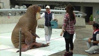 大分・うみたまご水族館のセイウチショー 腹筋など Walrus Performance in Umitamago Aquarium