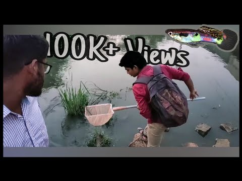 Collecting Indian River Wild Guppy Fishes Using Net- EshwarGandhi Ft. Abi Fish Room