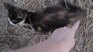 Девочка котенок метис (около 2 мес.) г. Керчь ищет добрые руки и дом! 4