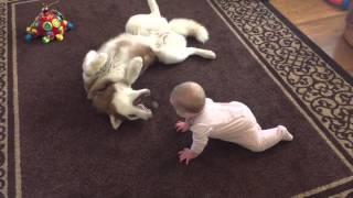 Siberian Husky Juega Delicadamente Con Bebé