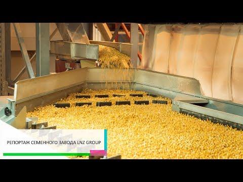 Удосконалення насіння: як створюють посівний матеріал кукурудзи на ЛНЗ