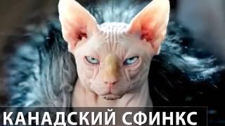 Порода кошек. Канадский сфинкс. Обаятельная кошка