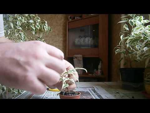 Как спасти погибающий цикас