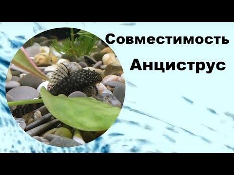 Анциструс. Совместимость аквариумных рыбок.