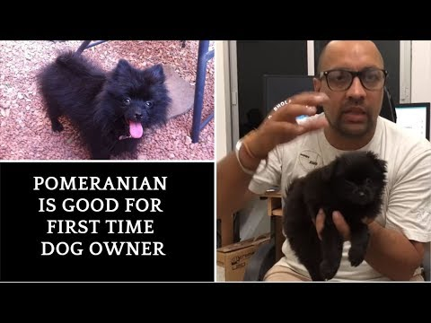 Pet Care - Pomeranian is good for first time dog owner - Bhola Shola