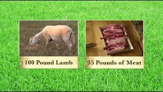 Helping Lambs Reach Ideal Weight for Processing