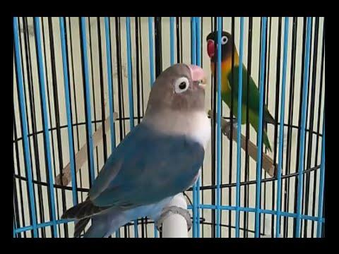 Kicau Burung Lovebird Gacor Ngekek (Love Bird Number: 24)