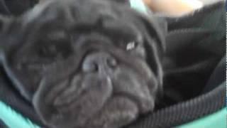 Black Pug Sleeping Through Off-roading Tour In Sedona