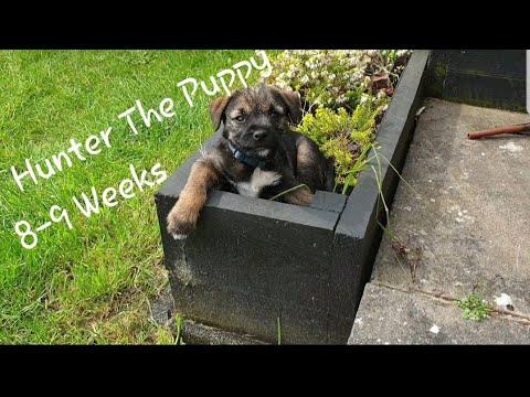 Puppy Fun. 8 week Old Border Terrier