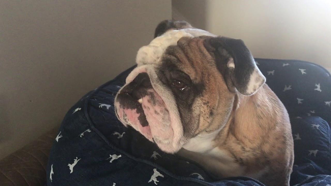 reuben-the-bulldog-for-being-such-a-good-boy