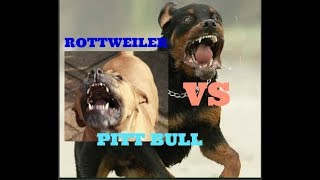 Pit Bull vs Rottweiler
