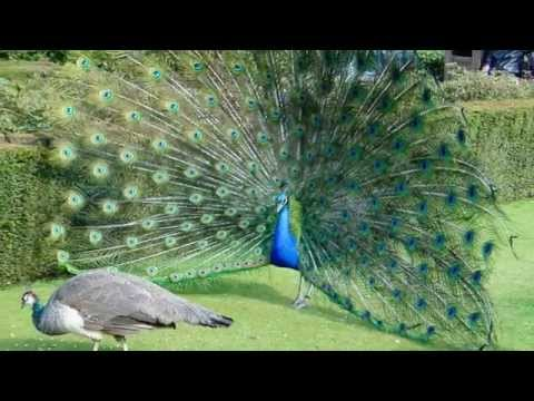 Peacock Sounds and Pictures