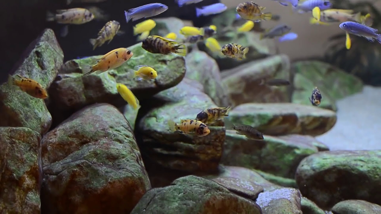 600L Malawi Cichlids Sump Filtration Overview YouTube