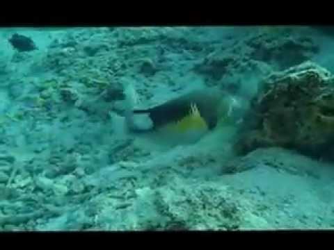 Fish Breaking Sea Shell on Rock at Kapalai, Sabah, Malaysia - by Carolyn Flynn